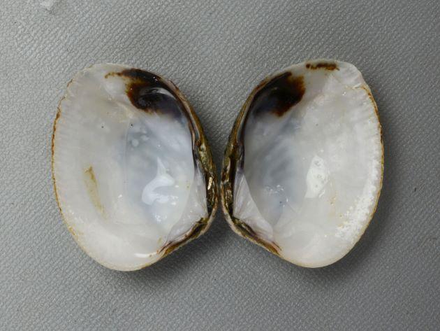 殻長4.5cm、殻高3.5cm前後になる。