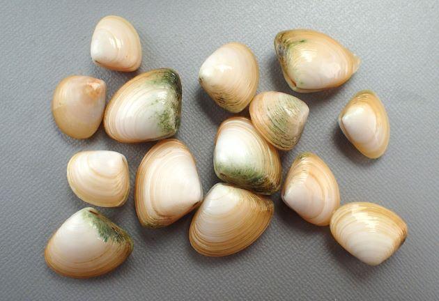 殻長3.2cm、殻高3cm。左右対称の仰木潟に近い。殻は薄くふくらみは強い。