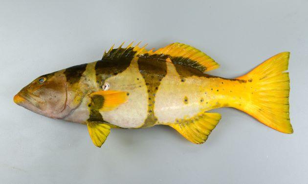 1m SL 前後になる。背鰭棘は8、尾鰭は湾入する。幼魚期には背の部分を中心に黄色もしくは赤色に黒い鞍掛斑紋があり、成魚になると黒い斑紋は消え、全体に褐色になり、コバルトブルーの小さな斑紋が散らばる。[体長38cm・若魚]