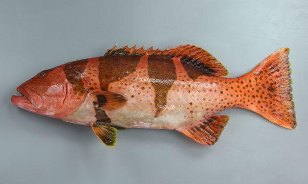 1m SL 前後になる。背鰭棘は8、尾鰭は湾入する。幼魚期には背の部分を中心に黄色もしくは赤色に黒い鞍掛斑紋があり、成魚になると黒い斑紋は消え、全体に褐色になり、コバルトブルーの小さな斑紋が散らばる。[体長47cm・若魚]
