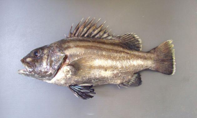 2m SL(体長)前後になる。紡錘形で縦の白と褐色の縞がある(成魚では不鮮明)。胸鰭起部の直下に腹鰭起部がある。[2kg 若魚]