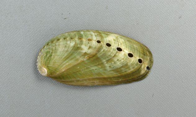 ミミガイの形態写真
