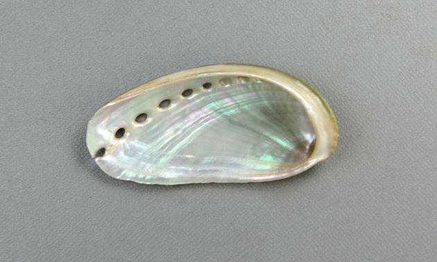 Shell length(殻長) 12cm前後。成長脈しかなく殻表はなめらか。孔は5-7。軟体部は大きい。