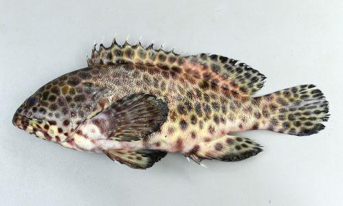 体長(SL)36cm前後になる。ほぼ全身に斑紋がある。頭部(目から吻)は短い。尻鰭の縁は黒い。胸鰭の前方に筋状の模様がある。[徳島県海部郡海陽町宍喰産/体長23cm]