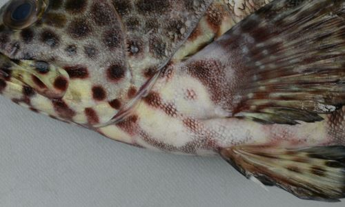 胸鰭の前方に筋状の模様がある。