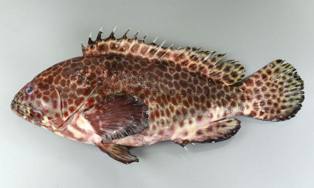 体長(SL)36cm前後になる。ほぼ全身に斑紋がある。頭部(目から吻)は短い。尻鰭の縁は黒い。胸鰭の前方に筋状の模様がある。[鹿児島県種子島産/体長36cm]