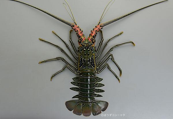 ゴシキエビの形態写真
