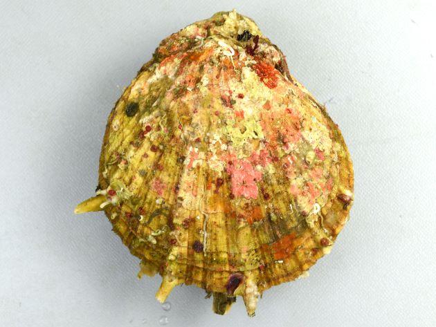 外套膜縁に触手がない。貝殻は楕円形に近く、貝殻は厚みがあり硬く、両貝殻ともふくらみは強い。貝殻は紫がかった灰色。貝殻状に突起を持つ。強い数本の放射肋があり間に細かい放射録がたくさんある。[Shell height 100mm,  Shell lenght 87mm 貝殻のふくらみ55mm 徳島県海部郡海陽町宍喰]