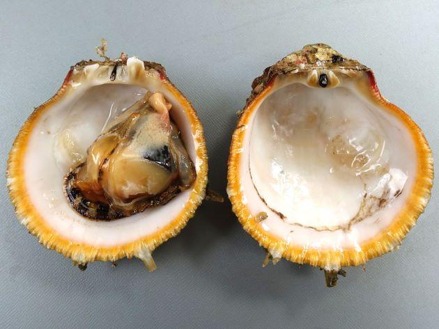 貝殻は楕円形に近く、貝殻は厚みがあり硬く、両貝殻ともふくらみは強い。貝殻は紫がかった灰色。貝殻状に突起を持つ。強い数本の放射肋があり間に細かい放射録がたくさんある。[Shell height 100mm,  Shell lenght 87mm 貝殻のふくらみ55mm 徳島県海部郡海陽町宍喰]
