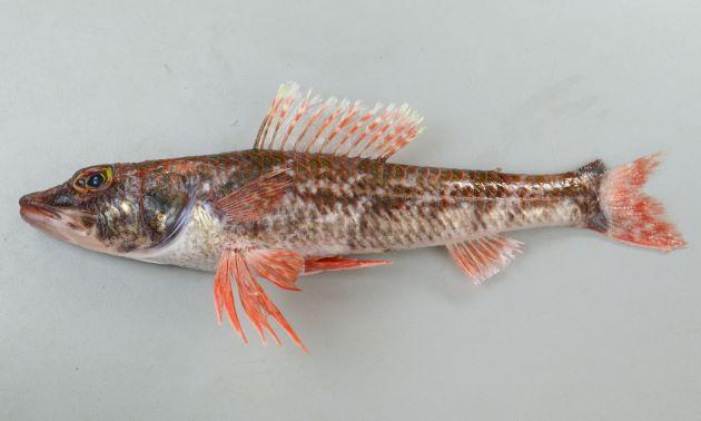 体長32cm前後(写真は鹿児島県産で体長32cm、重さ440g)、背鰭は14軟条、吻長が長い。