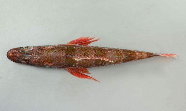 体長32cm前後(写真は鹿児島県産で体長32cm、重さ440g)、背鰭は14軟条、吻長が長い。上から見るとむしろコチ科に近い。
