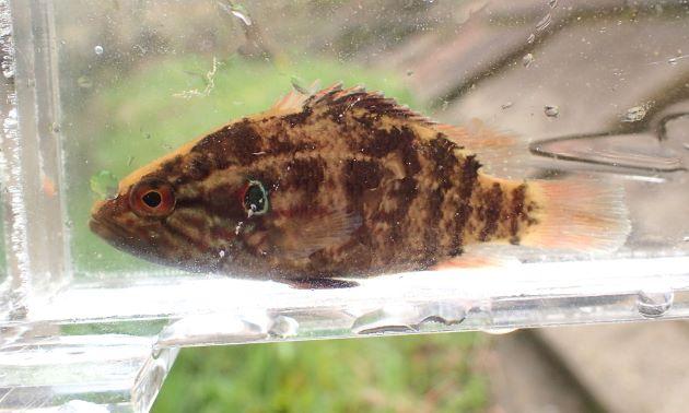 体長11cm前後になる。側へんし、褐色の横縞がある。鰓蓋上部に眼の形をしている目立つ斑紋がある。