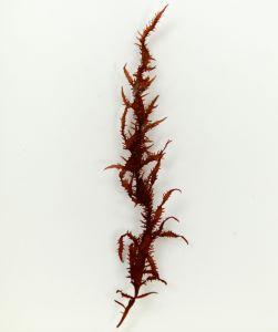 オオムカデノリのサムネイル写真