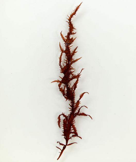 オオムカデノリの形態写真