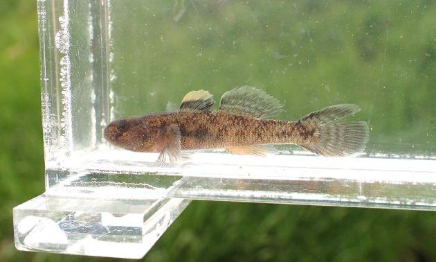 体長4cm前後になる。雄の方が大きい。第一背鰭は丸い。第一背鰭に明瞭は黒い斑紋がある。雄の尻鰭は橙色。