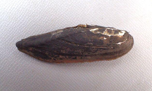 殻長10-20cmになる。褐色の殻皮を被る。