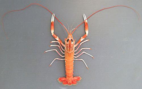 体長18センチ前後になる。アカザエビよりもやや小振り。細長く身体にとくに斑文はなく薄いレンガ色。ハサミ、ハサミ脚に濃い赤色と白の帯がある。