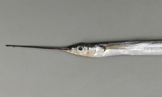 胸鰭は長く、鰓蓋骨後縁から上顎先端までの長さよりも長い。