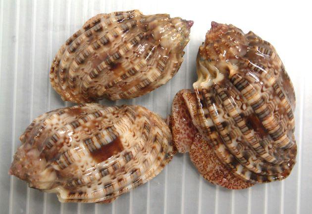 殻長4-6cmになる。ショクコウラ属のなかでは比較的細く、縦肋に糸状の円周に沿った縞模様がある。