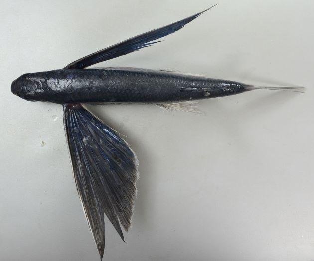 胸鰭は長く、全体に青黒い。