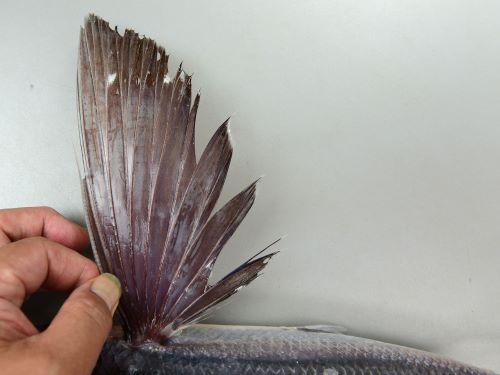 胸鰭は前方から2本(1本目は痕跡的で指の感触でわかるのみ)までが不分枝で、一様に赤みがかった薄い褐色。