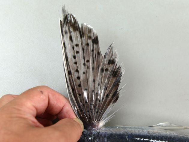 胸鰭には大きさにばらつきのある斑紋があり、先端部分に黒い縁取りがある。