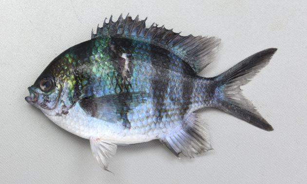 体長15cm前後になる。体側に5本の横縞があり、尾鰭は2叉して上葉、下葉に沿った黒い線があるが、死ぬと暗色になり黒い腺が不明瞭になることがある。
