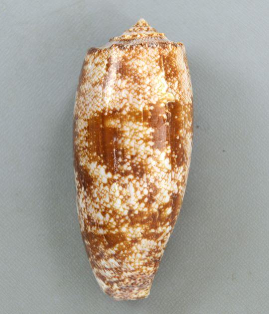 130mm SL 前後になる。イモガイ科のなかでは貝殻が薄い。大層に褐色の不定形の斑紋があり、網目模様を作ることもある。肩、螺塔に結節がある。