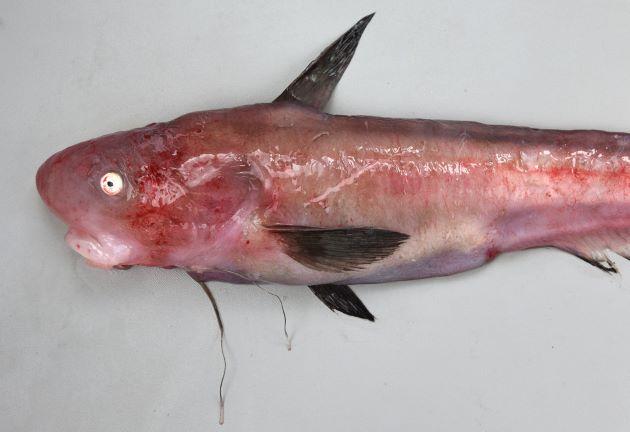 TL 1m前後になる。頭部は円筒形で尾に向かって側へんする。頭部、特に吻周辺はゼラチン質でぶよぶよしている。糸状の腹鰭は長く胸鰭始部分を超える。下顎には歯がなく上顎にはあるムラサキシャチブリ型と両方に歯のあるシャチブリ型、胸鰭が長いタナベシャチブリ型があるが総てシャチブリ。古くはタナベシャチブリとしていたものは小型が多いことから、小型は胸鰭が長いのかも。
