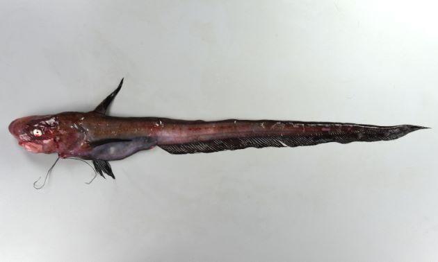 シャチブリの形態写真
