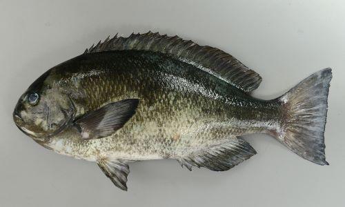 体長40cm前後になる。上唇は厚い。背鰭から吻にかけての傾斜は目の前で急激に曲がる。鰓蓋骨全面に鱗がある(外見上わかりにくい。ゆでると鱗が出てくる)。生きている時は体の中央部分に黄色い横縞がある。成魚は死ぬとすぐ、若魚も鮮度が落ちると消える。幼魚・若魚は体高があり成魚に鳴門スマートになる。