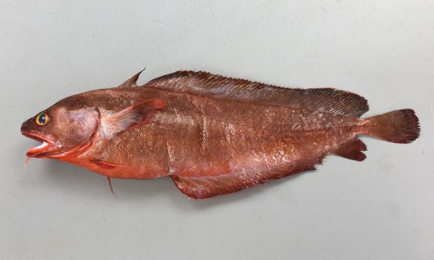 イソアイナメの形態写真