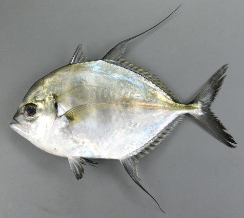 体長25cm前後になる。側面から見ると正円に近く第2背鰭、尻鰭の軟条は伸びる。鰭は黒く、特に尻鰭は黒い。リュウキュウヨロイアジと比べると眼前のしこり状のコブのふくらみは弱く、吻にかけてのくぼみも弱い。第1鰓弓の下枝鰓耙数は20-24(リュウキュウヨロイアジは14-17)。[伊東正英さん提供/鹿児島県南さつま市笠沙]