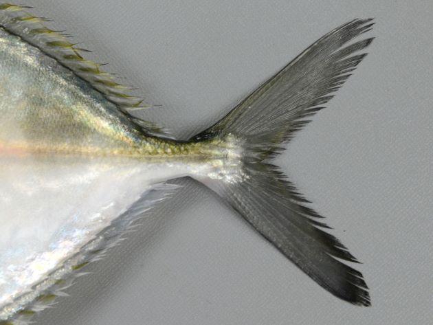 鰭は黒く、特に尻鰭は黒い。[伊東正英さん提供/鹿児島県南さつま市笠沙]
