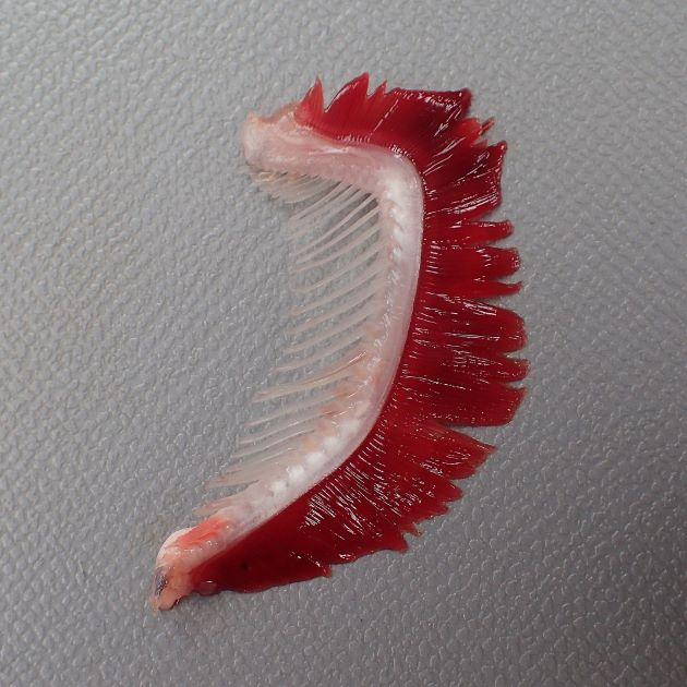 第1鰓弓の下枝鰓耙数は20-24(リュウキュウヨロイアジは14-17)。[伊東正英さん提供/鹿児島県南さつま市笠沙]