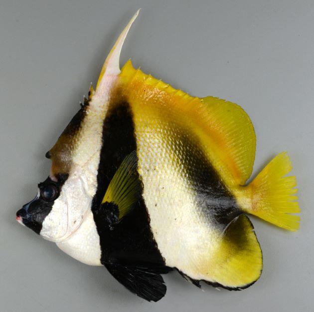 オニハタタテダイの形態写真