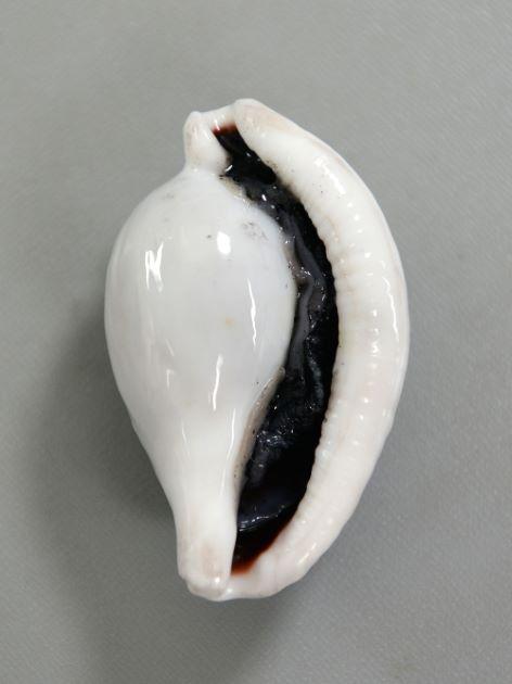 SL10cm前後になる。陶磁器を思わせる殻質で貝殻はとても硬い。腹麺。[採取者/伊東正英(鹿児島県南さつま市笠沙)]