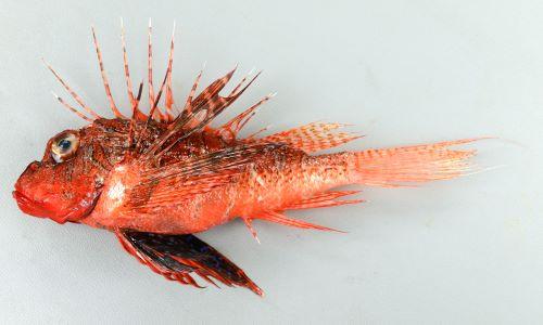 SL(体長)15cm前後になる。胸鰭、背鰭、腹鰭は長い。胸鰭と腹鰭は翼状になる。胸鰭は分枝する。頭部目の下ほおから上口附近に小さな棘がある。