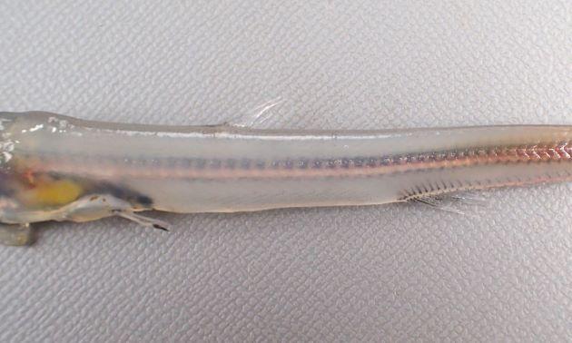 背鰭起部は尻鰭起部よりも腹鰭基底後端に近い。