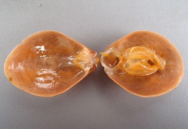 TL40mm前後になる。涙形でよく膨らむ。黄赤色で表面には筋や模様はない。腕骨ループはラクエウス形。