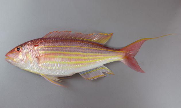 体長40cm近くになる。細長く、やや側扁(左右に平たい)する。頭部のすぐ後ろ、肩にあたる部分に小さな赤い斑紋がある。体側に黄色い筋状の文様が走り、尾鰭(おびれ)上葉が糸状に伸びる。