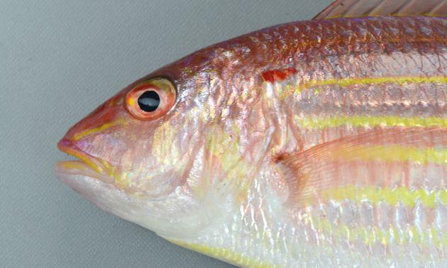 頭部のすぐ後ろ、肩にあたる部分に小さな赤い斑紋がある。