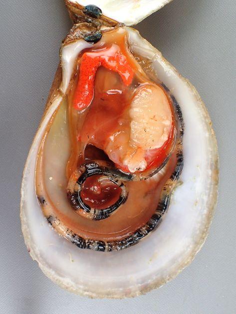 SH(殻高)17cm前後になる。貝殻は白く陶器質で大型で楕円形に近い。