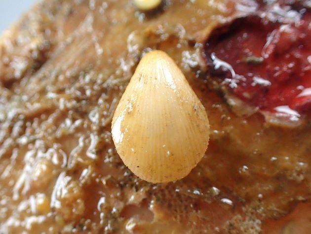 タテスジチョウチンガイの形態写真