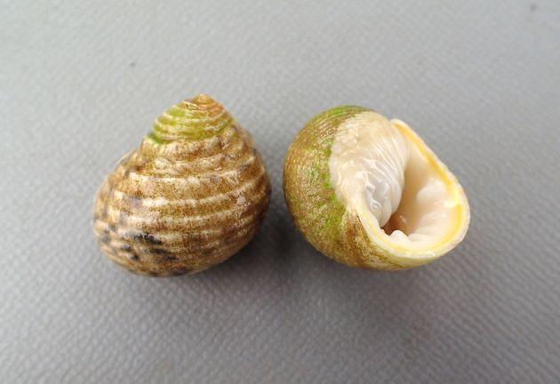 SL(殻長)20mm前後になる。全体に丸く螺塔はあまり高くならない。螺肋は強く、白・ベージュの地に黒い斑紋が出ることがある。ふたはすべすべして、爪状の突起がある。内唇、外唇ともに強い歯がある。
