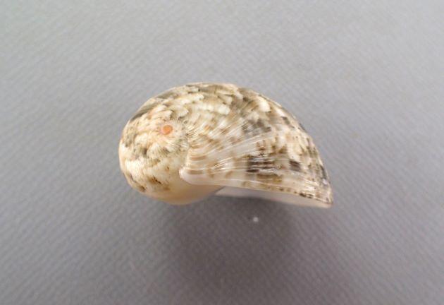SL(殻長)25mm前後になる。螺塔は突出しない。殻口はレモンイエローで歯は低く目立たない。