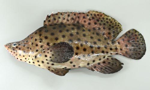 サラサハタの生物写真