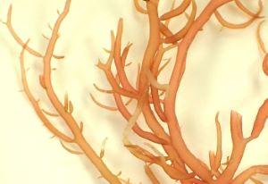 クビレオゴノリのサムネイル写真
