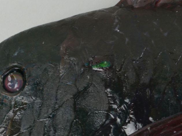 肩の部分にコバルトグリーンの斑紋がある。