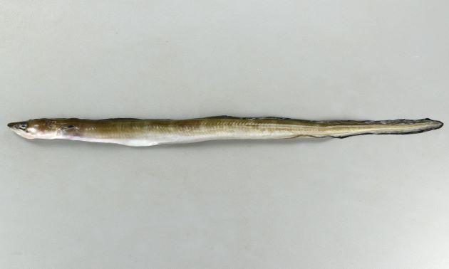 キリアナゴの形態写真